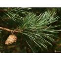 pin sylvestre des vosges, huile essentielle